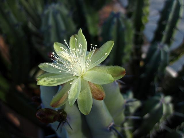 Cactus Flower (4393)