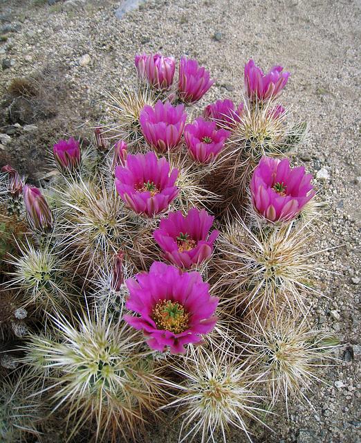 Flowering Hedgehog Cactus (0667)