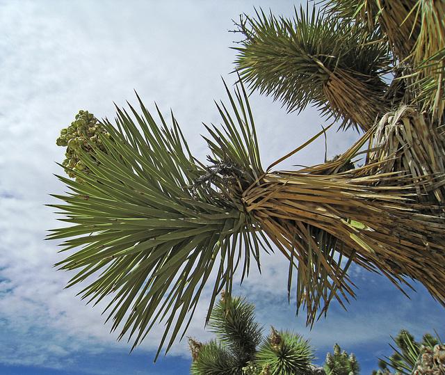 Joshua Tree (0654)