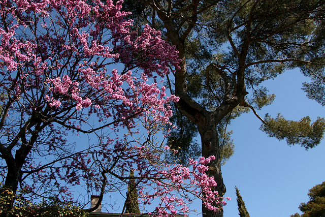 Pin et arbre fleuri