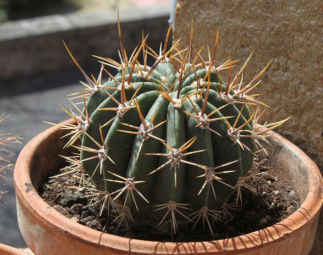 Acanthocalycium (Echinopsis) leucantha
