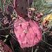 Red Opuntia Cactus (0449)