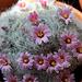 Mammillaria glassii (3)
