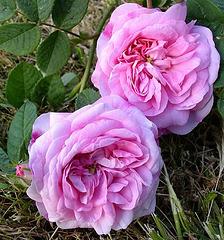 Roses d'Ispahan