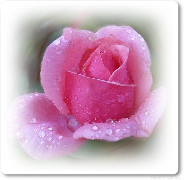 pink rose (pip)