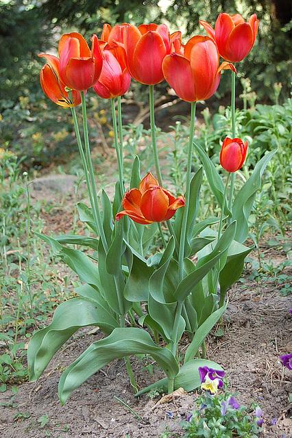 Sveltaj belulinaj tulipoj