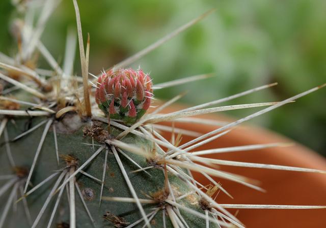 Opuntia polyacantha  - jeune pousse