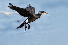 En plumage nuptial
