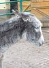 donkey, azeno, Esel