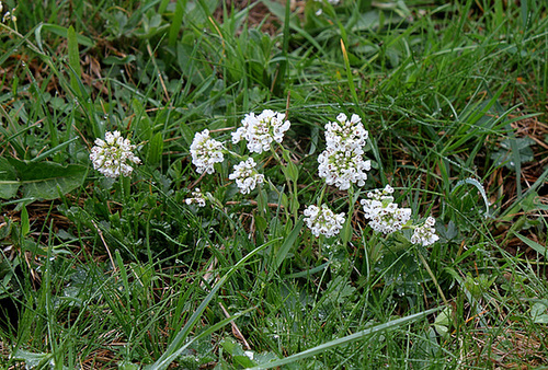 Noccaea caerulescens- Tabouret bleuâtre - tabouret des alpes