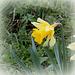 Narcissus pseudonarcissus ssp.nobilis