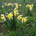 Les Jonquilles - Narcissus pseudonarcissus ssp.nobilis