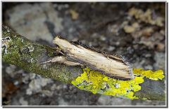 Cucullia scrophulariae.