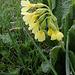 Primula elatior - Primevère des bois  (4)