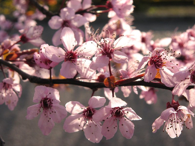 prunus and light