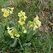 Primula elatior - Primevère des bois  (2)