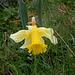 Jonquilles - Narcissus pseudonarcissus ssp.nobilis