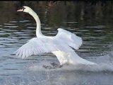 Swan Lake Op.20, Piotr Ilyich Tchaikovsky