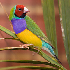 Red headed Male adult Gouldian Finch
