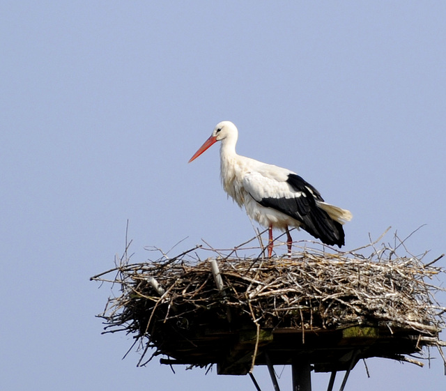 brütender Storch