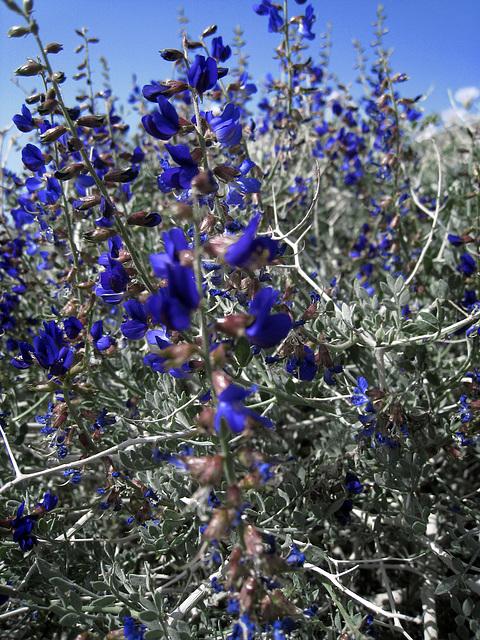 Blue Flower (0731)