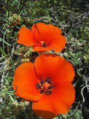 Mariposa Lily (0743)