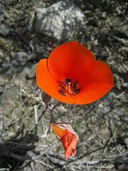 Mariposa Lily (0742)