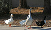 Waterfowl of Gilbert Arizona (1391)