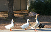 Waterfowl of Gilbert Arizona (1392)