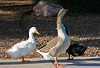 Waterfowl of Gilbert Arizona (1393)
