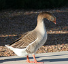 Waterfowl of Gilbert Arizona (1397)
