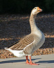 Waterfowl of Gilbert Arizona (1399)