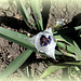 Tulipa humilis alba coerula oculata