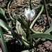 Tulipa humilis alba coerula