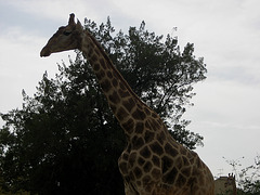 Zoo Garden of Lisbon, giraffe tree (2)