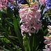 Jacinthes en bleu et rose