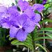 Wildorchidee Vanda coeruela