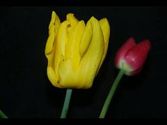 vie des tulipes....