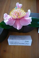6. Deutsche Kamelienblütenschau im Barockschloß Zuschendorf