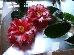 Kamelienblüte 2009 - 1. Platz