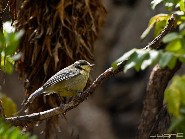Herrerillo canario - Cyanistes teneriffae