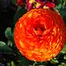 Dalio: ardo kaj floro