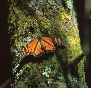 Sierra Madre: Monarchfalter 2