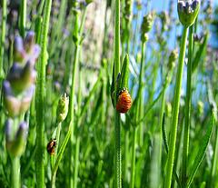Marienkäferpuppen und Lavendel