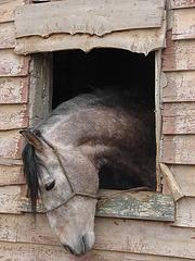 el calon   cheval à la fenêtre