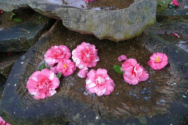2. Besuch der Kamelienblütenschau 2009