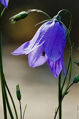 Lavender // 1