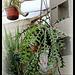 Cryptocereus =Selenicereus =Epiphyllum anthonianus