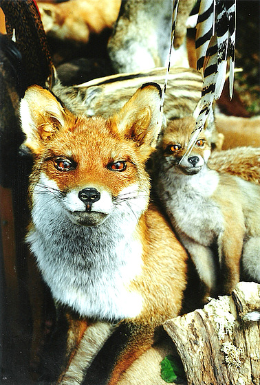 vulpoj - Füchse