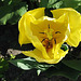 IMG 7684bc Yellow Tulip Heart